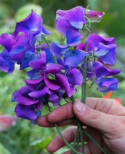 Cut Foliage Plants - lathyrus odoratus blue shift buy online at annie s annuals