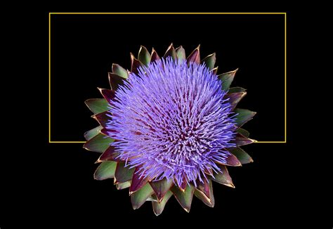 carciofo fiore 448 fiore di carciofo foto immagini piante fiori e