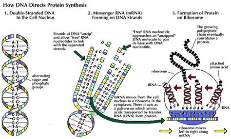 dna replication and protein synthesis venn diagram discovery of chemical structure of dna february 28 1953