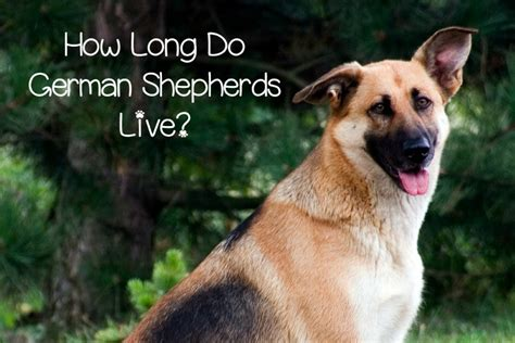 how do german shepherds live how do german shepherds live dogvills