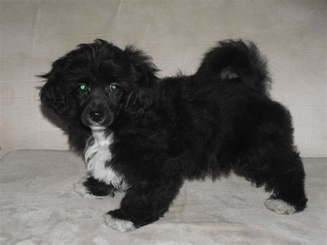 lhasa poodle mix and poodles on pinterest black lhasa apso poodle mix peanut butter lhasa apso