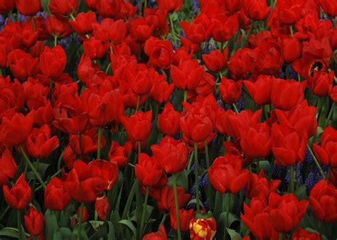 imagenes para celular de flores consigue tus propios fondos de flores rojas para ti