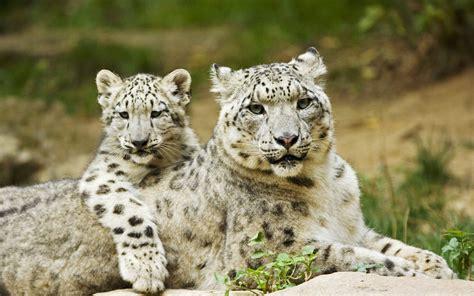 Snow leopard mother and cub appreciates their close relationship