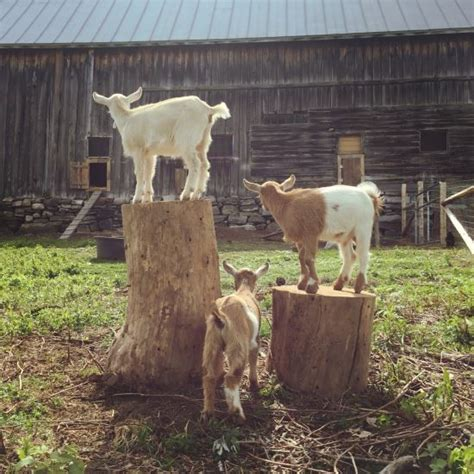 goat bedding how to prepare for raising goats homesteading and