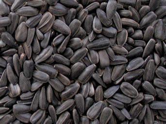 black sunflower seeds buy bird seed hall farm wild