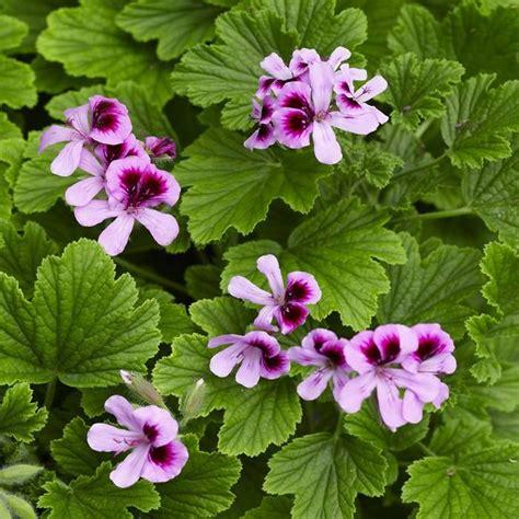 best scented geranium 75 best pelargonium images on geraniums plants and beautiful flowers