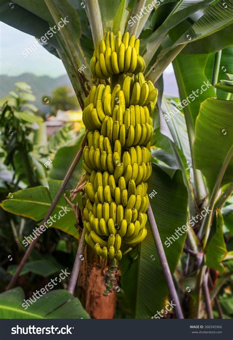 bananas on tree banana tree growing bunch unripe green stock photo