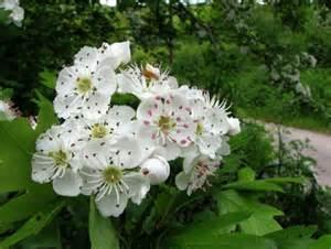 fiori di biancospino albero delle streghe laurin42