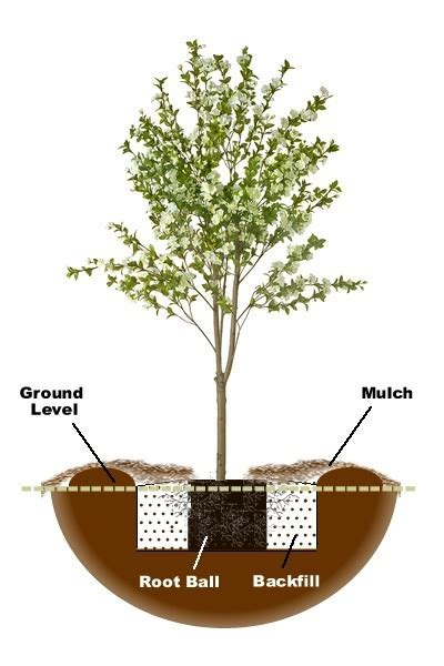 Cherry Blossom Facts by How To Plant A Pear Tree