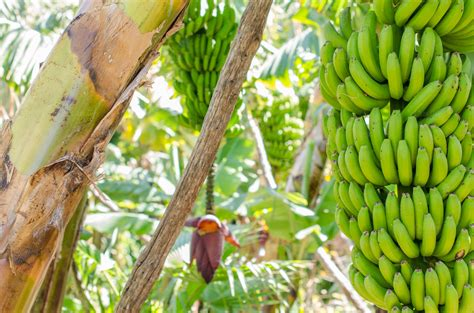 bananas on tree banana tree with a bunch of bananas nature photos on