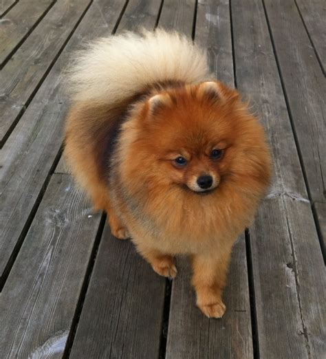 orange pomeranian orange pomeranian www imgkid the image kid has it