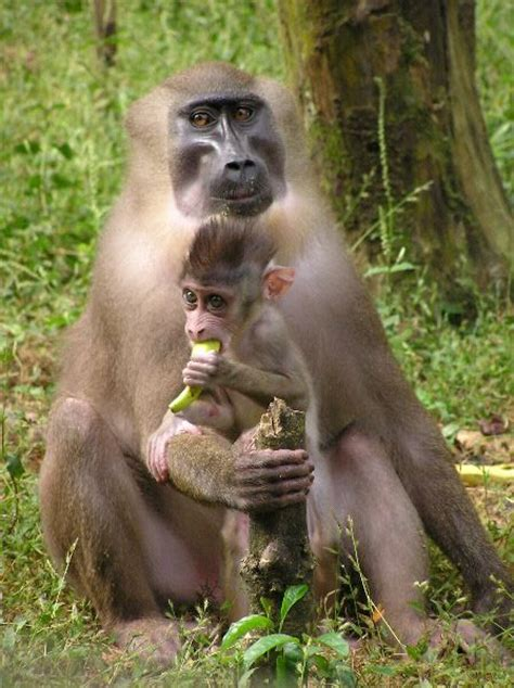 drill monkey infant animal facts  information