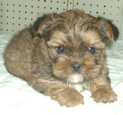 puppies for adoption montana shorkie rescue photograph awesome shorkie puppies for