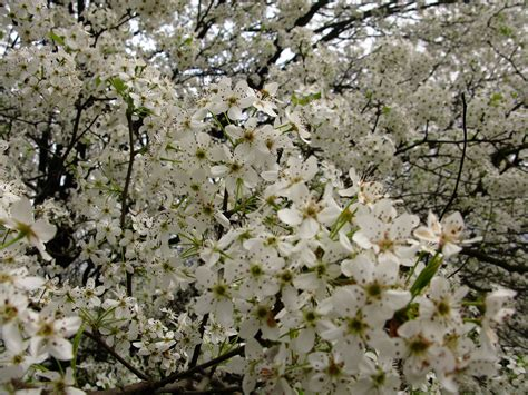 file macro white flowering tree west virginia