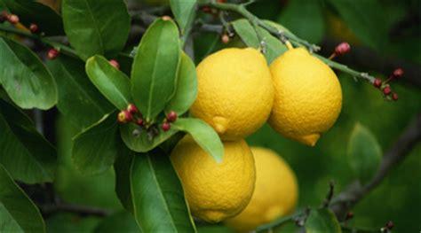 cura dei limoni in vaso limoni informazioni pianta consigli cure per copyr