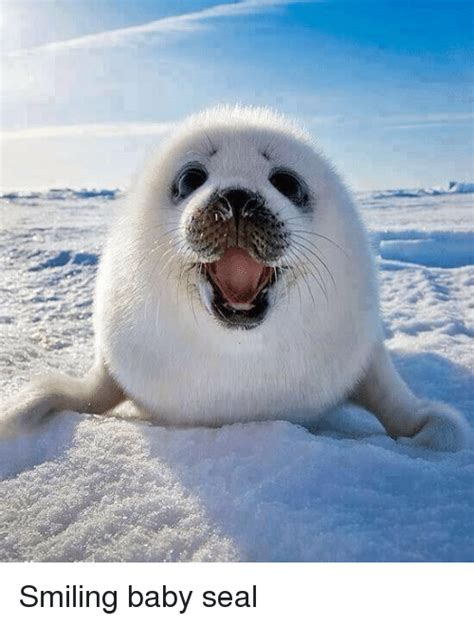 Baby Seal Meme - 25 best memes about baby seal baby seal memes