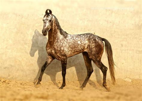 war breeds 25 best ideas about marwari horses on pretty horses horses and black horses
