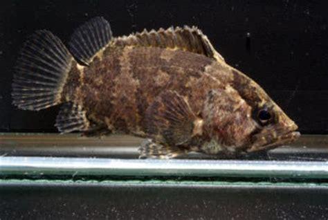 Makanan Ikan Hias Sumatra dewa ikan katalog ikan hias