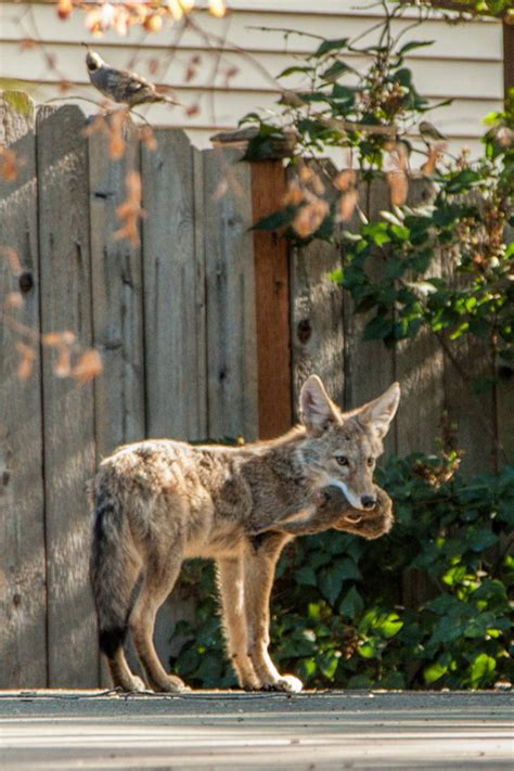 coyote in my backyard the coyote in my back yard inland 360