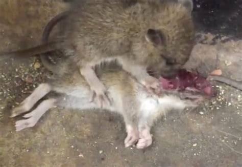 Would You Eat A Rat by Cannibal Rats Filmed Fellow Rodent On New York
