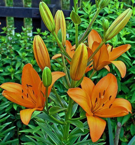 fleur de lis l images gratuites la nature feuille 233 t 233 orange vert