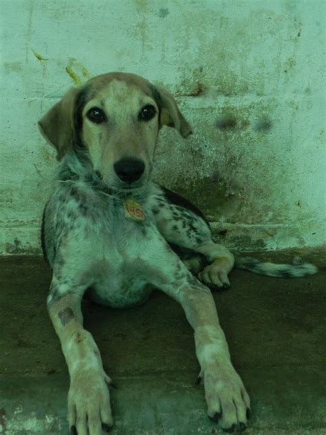 rectal prolapse in dogs suffering with recurrent rectal prolapse was treated at jivdaya charitable trust