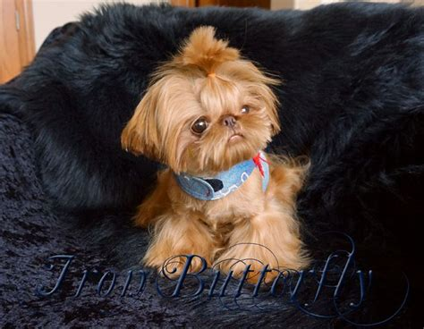 teacup shih tzu for sale 25 best ideas about teacup puppies for sale on tiny puppies for sale