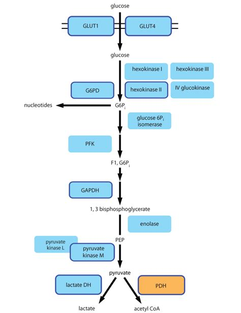 diagram of glycolysis mitosciences glycolysis pathway diagram