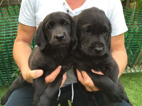 labradoodles puppies for sale west sussex labradoodle f2 puppies for sale shoreham by sea west