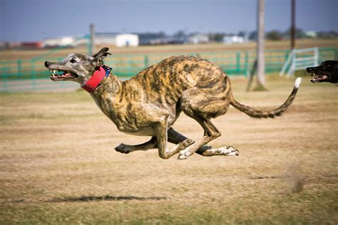coyote with dogs photos inside the controversial sport of coyote coursing high country news