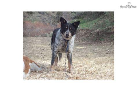 blue heeler puppy names meet pepsies blue d msk sold a australian cattle blue heeler puppy for