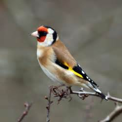 bird info goldfinch farbrook farm