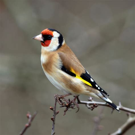 goldfinch carduelis carduelis image taken from http