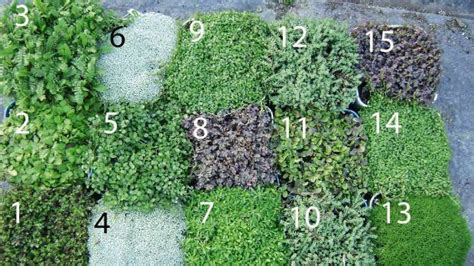 13 of the best new zealand ground cover plants