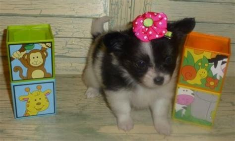 Petit Papillon Baby Sale by 17 Best Images About Papillon Puppies For Sale On