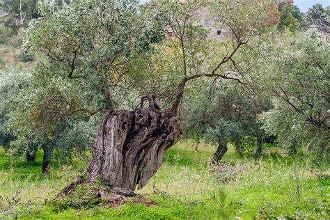olive tree free photo olive tree tree olive grove free image on