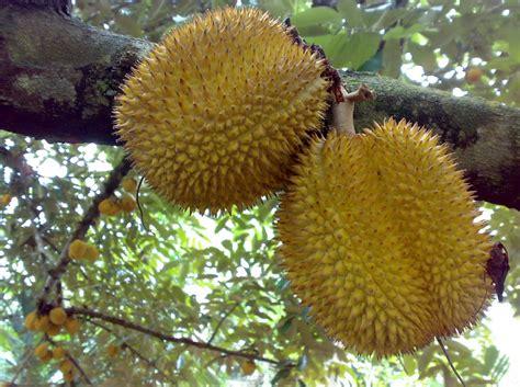 Bibit Durian Musang King Besar cara menanam dan merawat tanaman buah durian musang king