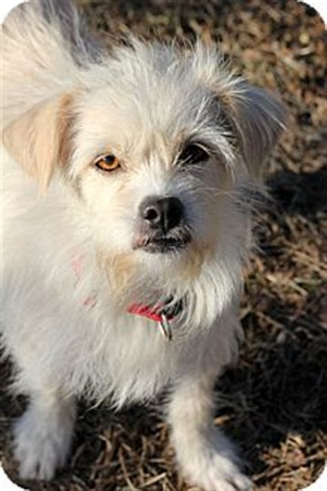 scottish terrier shih tzu mix bells adopted pennigton nj shih tzu cairn terrier mix