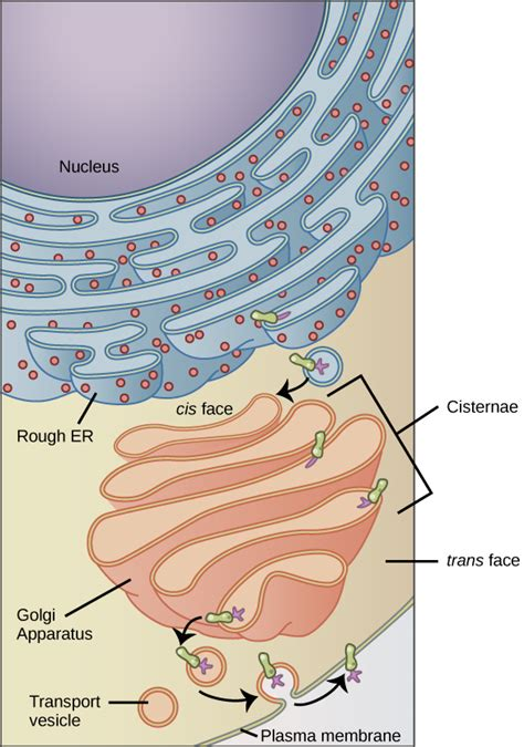 carbohydrates a level quiz 4 4 the endomembrane system and proteins biology libretexts