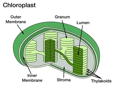 chlorophyll diagram what organelle contains chlorophyll