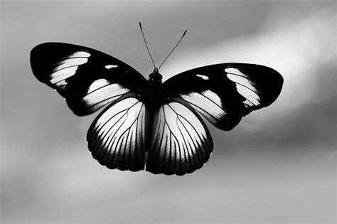 black and white butterfly wallpaper black and white images of butterflies 19 background