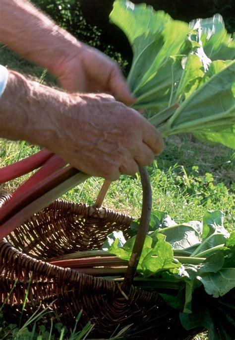Planter De La Rhubarbe by Planter La Rhubarbe Gamm Vert