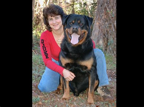 rottweiler rescue in florida german rottweiler rescue florida photo