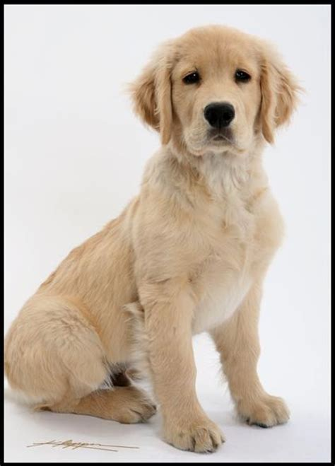 nashville golden retriever puppies home www goldenwaykennel