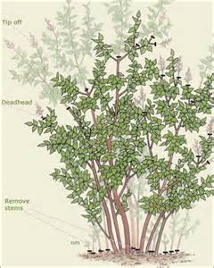 how to prune a lilac garden landscaping pinterest