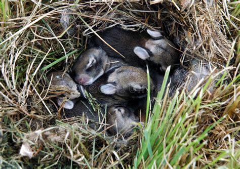 Baby Nest Bunny Blue baby bunnies stock photo image of bunny nest bunnies 873102