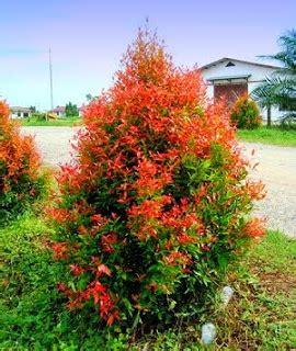 merawat tanaman pucuk merah blog tanaman