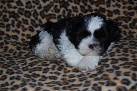 shih tzu puppies for sale in lancashire shih tzu puppies for sale ormskirk lancashire ormskirk lancashire pets4homes