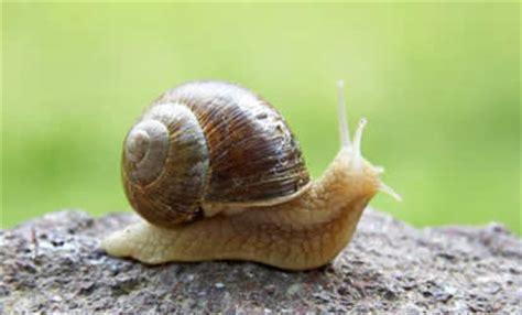 un caracol a snail propiedades nutritivas del caracol vivirsanos com