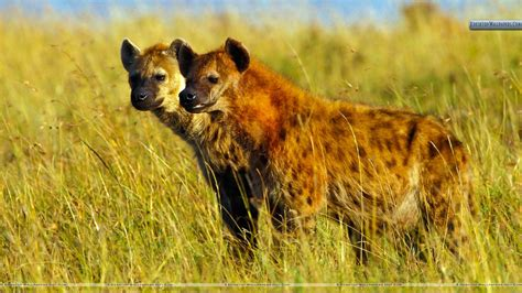 images of hyenas hyena pictures and wallpapers animals library